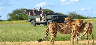 malamala-cheetah-game-drive-590